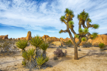 Foto op Canvas Natuur Park Joshua Tree National Park
