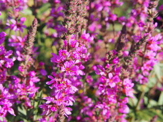 Lythrum salicaria - purple loosestrife, spiked loosestrife, purple lythrum