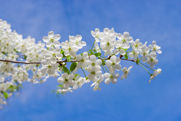 Flowering branch of cherry tree on a blurred background