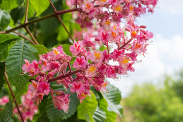 Inflorescence of red horse-chestnut tree closeup