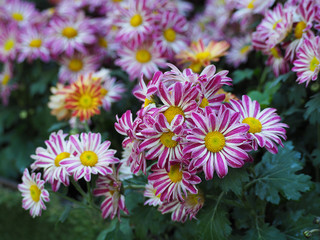 Beautiful of Chrysanthemums flower in the garden.
