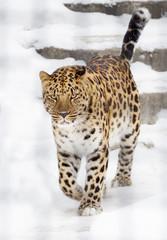 Амурский, леопард.