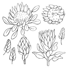 Hand-drawn flowers protea.  Vector sketch illustration.