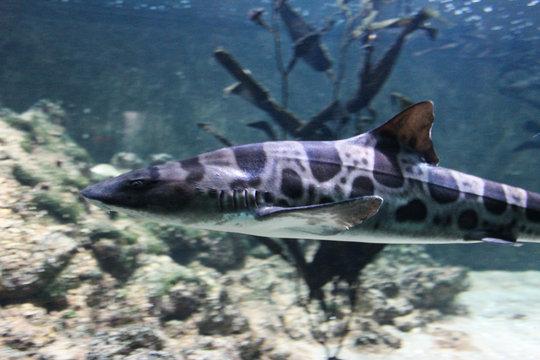 Leopard shark or zebra shark (Triakis semifasciata) swimming in the Pacific coast of North America