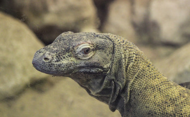 close up of Komodo dragon (Varanus komodoensis)