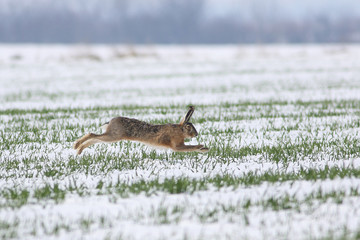 Wild hare is jumping on meadow