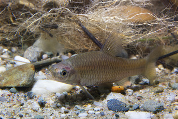 Underwater photography of freshwater fish Stone moroko, Pseudorasbora parva in the beautiful clean pound. Underwater shot with nice bacground and natural light. Wild life animal. River habitat.