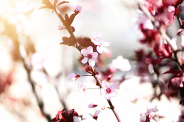 Blooming japanese cherry tree. Blossom sakura flowers. Sunny day and spring nature background. Easter concept. Copy space.