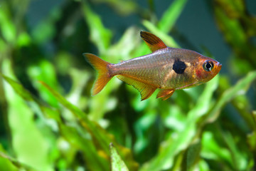 Fresh water aquarium still life. Swimming fish Rosy Tetra. beautiful green planted background, selective focus macro view