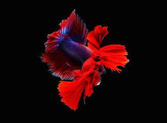 siames fighting fish. halfmoon betta,betta splendens, plakad