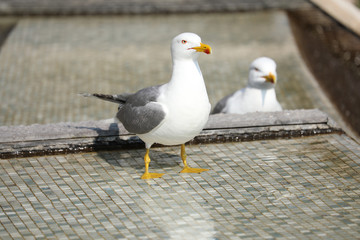 Beautiful Gulls Standing In The Fountain