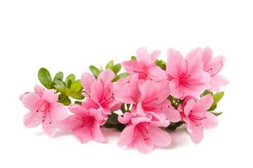 azaleas flowers isolated