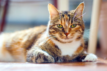 Portrait of an American Shorthair multicolored cat
