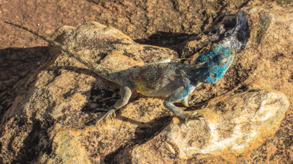 Lizard on stone rock