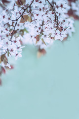 branches with white delicate spring flowers of fruit tree. Cherry flowering.   Delicate artistic photo. selective focus.