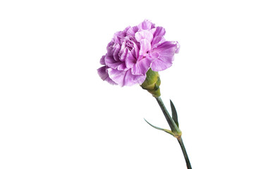 Purple carnation on a white background, isolate. Close-up. Copy space