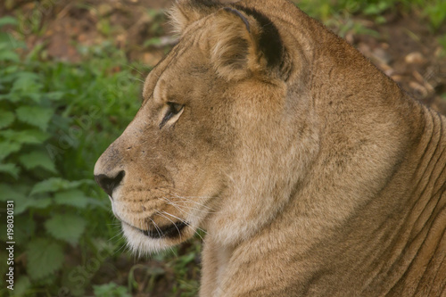 close-up photo portrait of a Barbary lioness