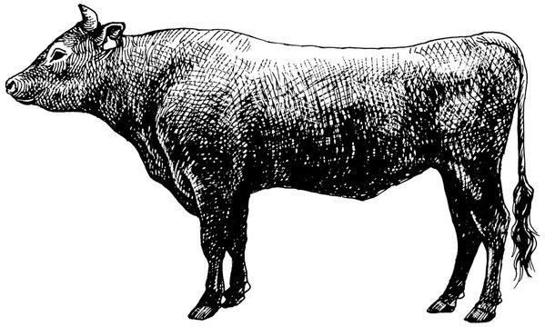 黒毛和牛 ペン画