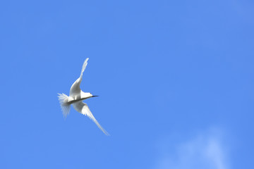 Fairy Tern, Seychelles