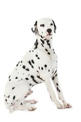 Dalmatiner isoliert auf weißem Hintergrund
