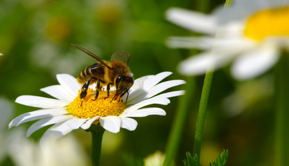 Bee on a daisy