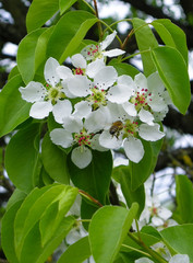 Весной грушевое дерево расцветает белыми цветками.