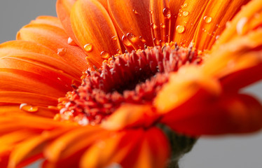 Gerbera flower with drops of water