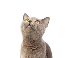 Gray british cat on the white