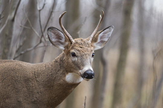 Male white tailed deer in autumn