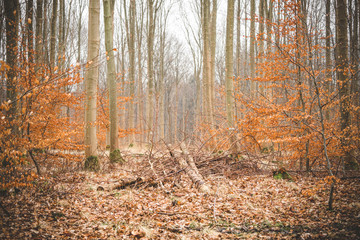 Autumn in a beech forest with leaves