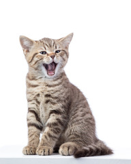 Yawning small cat kitten isolated on white background