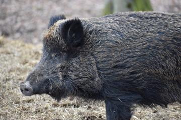 Closeup of a dark brown wild boar