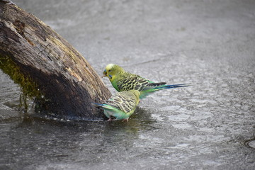 Closeup of two colorful budgies on a frozen lake in a park in Kassel, Germany