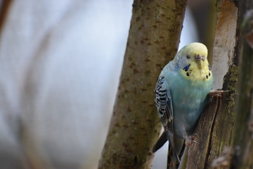 Closeup of a small light blue budgie sitting on a tree branch in a park in Kassel, Germany