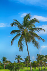 Beautiful green palm trees against the background of summer blue sky.