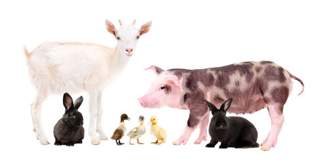 Farm animals standing together isolated on white background