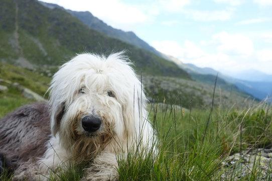 Old english sheepdog sitting in an alpine pasture
