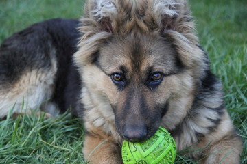 german shepherd. photo