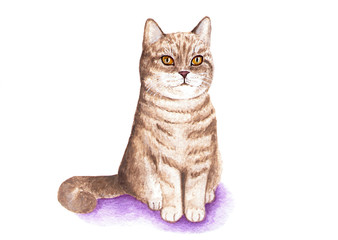 British cat. Portrait of a cat. Watercolor illustration. British cat proudly sits. Coat of golden color. Illustration on white background.
