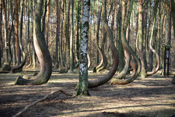 Crooked forest in Gryfino.