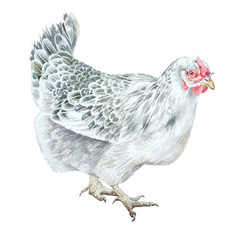 Watercolor illustration with hen.  Hand drawn.