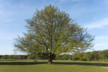 Baum, Buche, Frühling