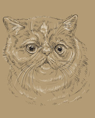Exotic Shorthair Cat on brown background