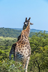 Pattern and Texture of Giraffe Body against Natural Hilly Landscape