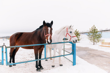 Two curious friendly horses in the paddock, standing on a rustic metal fence, peering into the camera in the snowy winter.