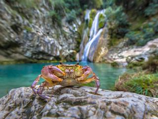 European freshwater crab in habitat