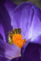 Bee in Macro Collecting Yellow Pollen from a Purple Crocus