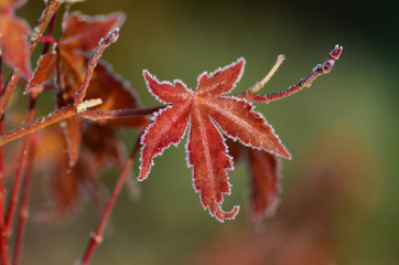 Red Japanese Maple Leaf Lined in Frost