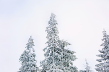 Beautiful fir trees covered with snow at resort on winter day