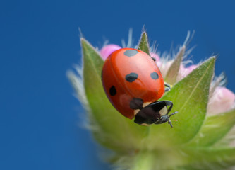 Macro photo of a ladybird on field scabious